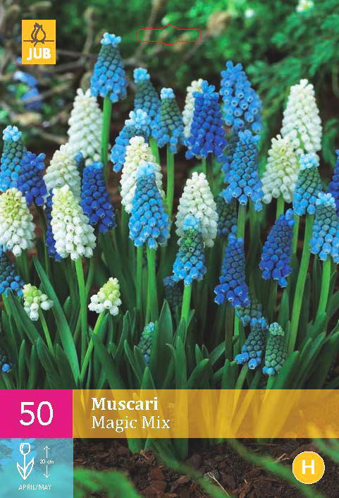 Muscari Magic Mix.jpg