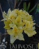 Revontuliatsalea `Lemon Lights`